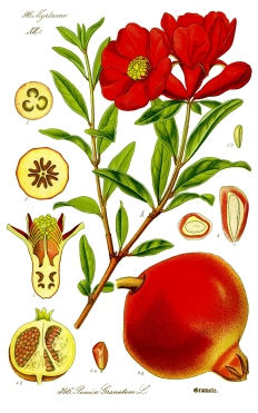 Illustration_Punica_granatum1.jpg