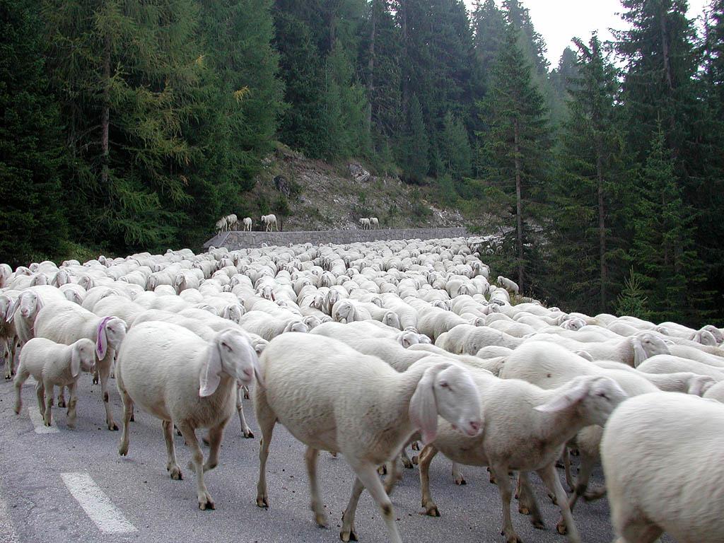 Gregge_pecore